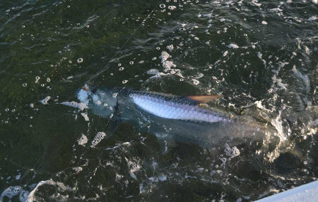 Giant Fort Myers Tarpon Caught On A Fly With Guide Capt Eric Anderson